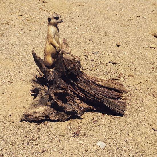 Surikata Meerkat Zoo Wood Sand Animals