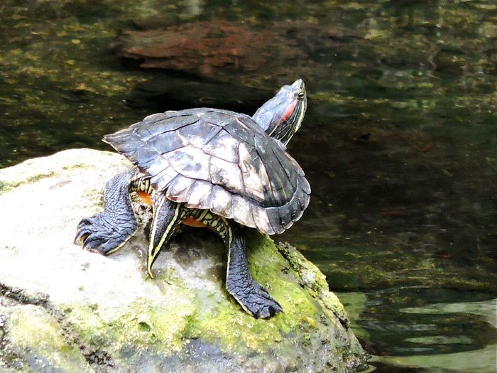 Close-up of turtle on rock in pond