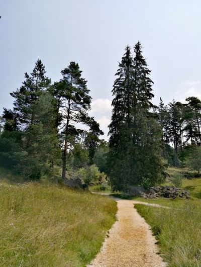 Tree Forest Pine Tree Sky Landscape Grass Green Color