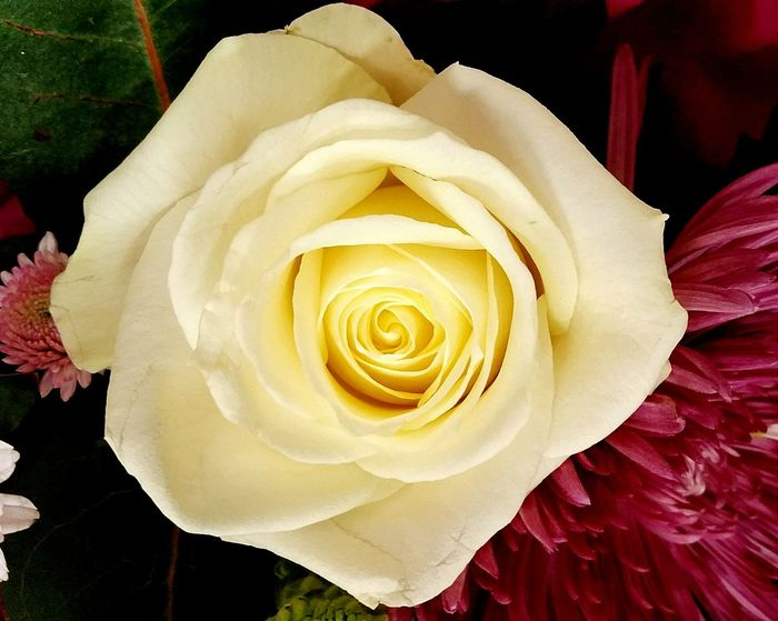 Flower Rose - Flower Petal Nature Beauty In Nature Ladyphotographerofthemonth Cream Rose Rose🌹 Flower Head Flowers, Nature And Beauty