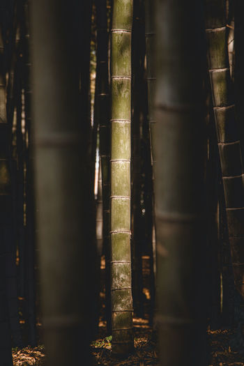 Close-up of bamboo trees in the forest