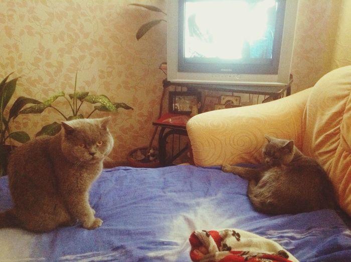 Mrrrr Hi! Cat♡ Cats Meow🐱 котики😻 британцы Nice Love ♥