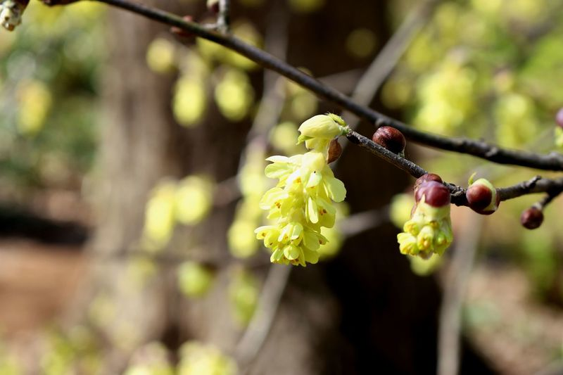 A yellow blossom on a tree is one of the first signs of Spring. Yellow Flower Beauty In Nature Branch Close-up Day Flower Flower Head Focus On Foreground Fragility Freshness Growth Nature New Growth No People Outdoors Plant Spring Springtime Tree Tree Blooms Tree Blossoms Yellow Yellow Color