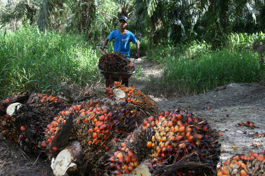 Worker on Palm oil plantation is harvesting Palm oil fruits in Indonesia Worker Abundance Day Ecological Destruction Environmental Conservation Food Food And Drink Freshness Fruit Harvest Time Healthy Eating Land Men Nature Occupation One Person Outdoors Palm Oil Fruit Palm Oil Industry Palm Oil Plantation Plant Preparation  Preparing Food Real People Tree Wellbeing Working