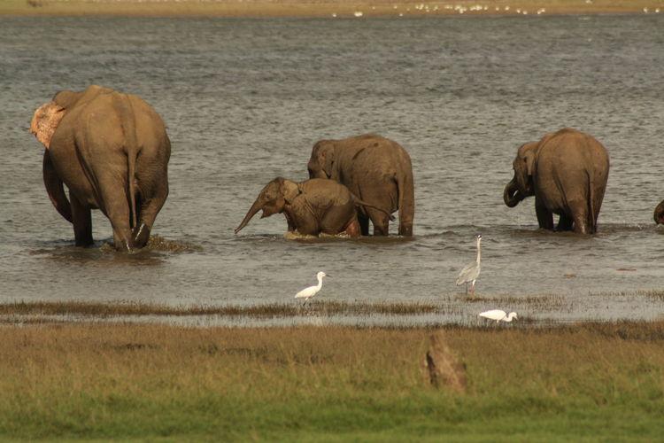 Animal Animal Behavior Animal Themes Baby Elephant Elephant Elephants Playing Young Elephant Young Elephant Family At Water Hole Zoology
