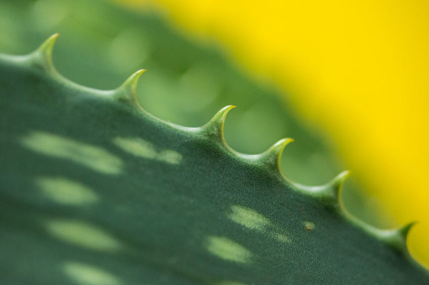 Aloe Aloe Vera Aloe Plants Diagonal Green Green Color Shapes Aloe Leaves Aloe Plant Aloe Vera Leaves Aloe Vera Plant Aloevera Close-up Flower Green Color Leaf Natural Pattern Nature No People Plant Plant Part Sharp Spiked Spiky Thorn