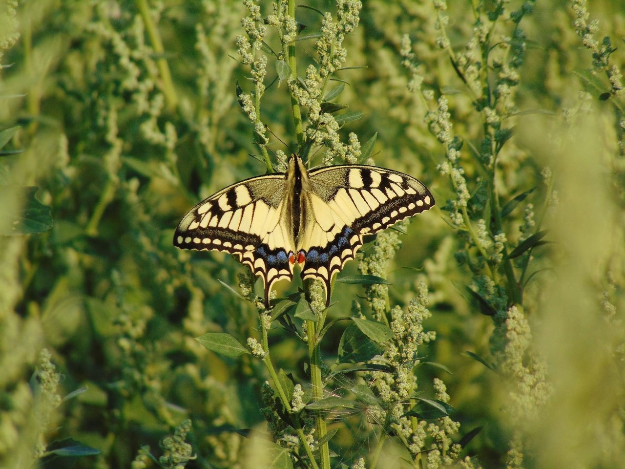 animals in the wild, animal themes, insect, one animal, butterfly - insect, nature, butterfly, animal wildlife, growth, plant, no people, day, outdoors, beauty in nature, spread wings, fragility, close-up, perching, freshness