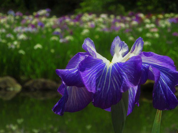 Iris Nature Close-up Flower Flower Head Flowering Plant Iris Nature No People Outdoors Petal Plant Purple