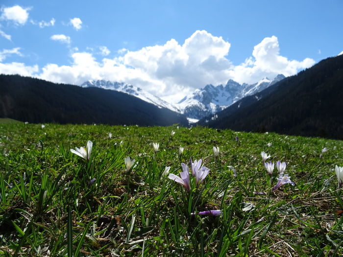 Springtime Tirol  Mountain Beauty In Nature Sky Plant Nature Flower Landscape Growth Cloud - Sky Environment Day Flowering Plant Land No People Grass Field Scenics - Nature Tranquility Mountain Range Freshness Outdoors Mountain Peak Krokus