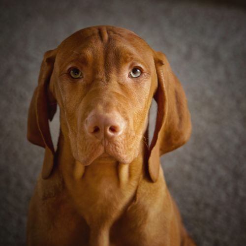 Jack Puppy Vizsla Dog Canine One Animal Domestic Animals Mammal Pets Portrait Domestic Looking At Camera Brown Close-up Vertebrate No People Focus On Foreground Animal Body Part Animal Eye Snout