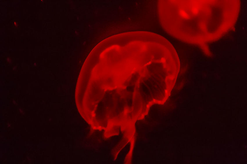 Red jellyfish glowing in the dark background. Deep Sea Jelly Fish Jelly Fish Bloom Jelly Fishes Jellyfish Gallery Red Beauty In Nature Black Background Close-up Coral Cute Glowing Glowing In The Dark Glowing Light Jelly Fish In Motion Jelly Fish Tank  Jellyfish Marine Life Nature No People Outdoors Red