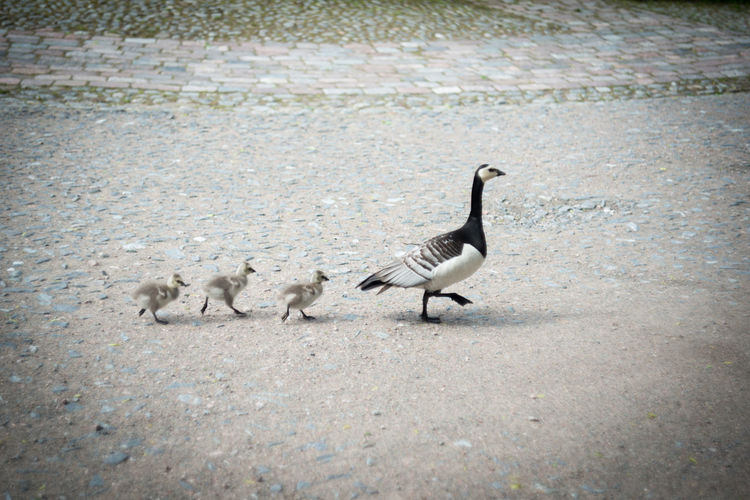 Animal Animal Themes Avian Bird Goose Goslings Nature No People Outdoors Road Selective Focus Walking Wild Goose  Wildlife Young Goose Nature's Diversities The Essence Of Summer