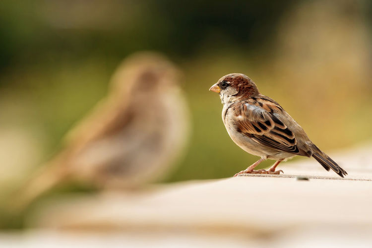 Animal Animal Themes Animal Wildlife Animals In The Wild Beauty In Nature Bird Brown Close-up Day Horizontal Living Organism Nature Nature No People Outdoors Portrait Shadow Silhouette Sitting Sparrow Sparrows Two