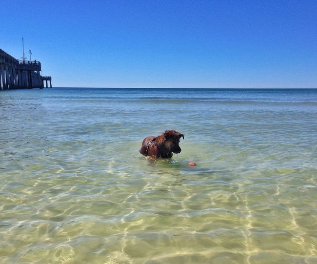 Dog At Sea Against Clear Blue Sky
