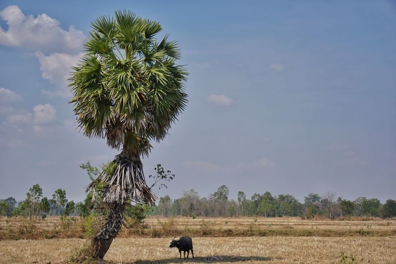 Countryside Sugar Palm Tree Buffalo Tree Plant Field Agriculture Land Landscape Growth Animal