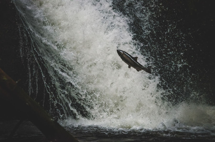 Salmon jumping in goldstream river Creek Darkness And Life Day Fairy Fish Fishing Flying Frozen Lifestyles Nature Outdoors Salmon Salmon Jumping Salmon Run Stream Water Waterfall Wildlife