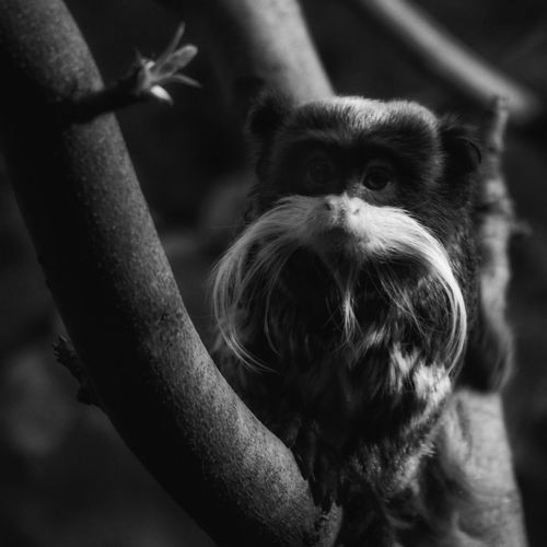 The emperor is watching. Emperor tamarin monkey Mammal Zoology Emperor Emperor Tamarin Monkey Tamarin Traveling Travel Cute Mustache Peru Sony A6000 Sony Alpha
