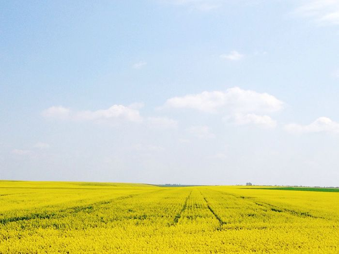 Yellow Yellow Flowers Field Countryside Romania Road Eastern Europe Nature Sky Clouds Timisoara Arad Pastel Colors