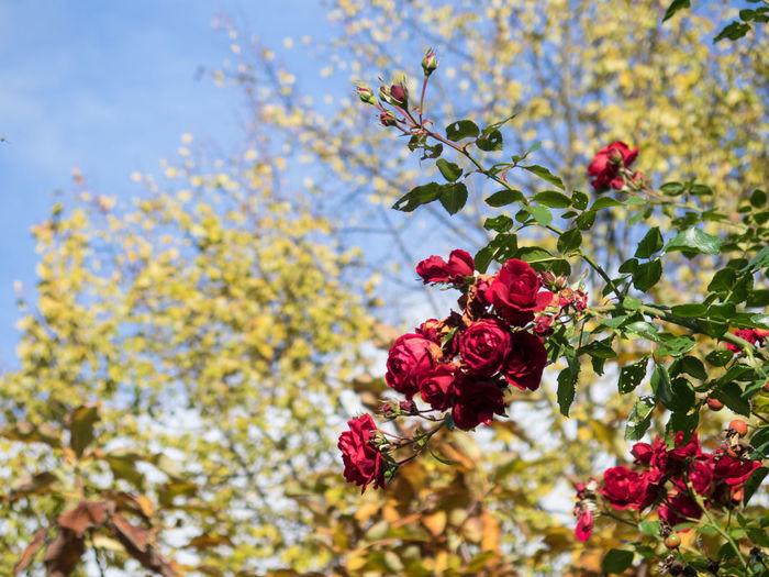 Red roses vs.