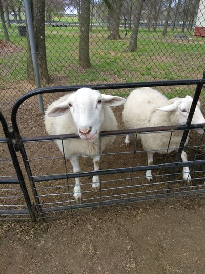 Agriculture Zoo Petting Zoo Pets Outdoors Domestic Animals Animal Themes Mammal Livestock No People Cage Standing