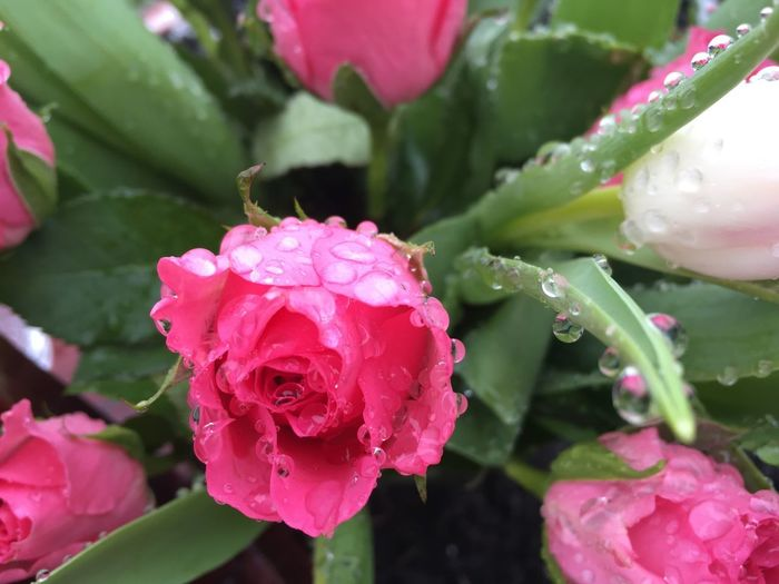 Gottipictures Rainpearls Tulips🌷 Waterpearlphoto Flowerphotography Rosephotography Beautiful Nature Rainiday Roses Waterpearls Pearls Beauty In Nature Flowering Plant Plant Flower Close-up Freshness Rosé Water Flower Head