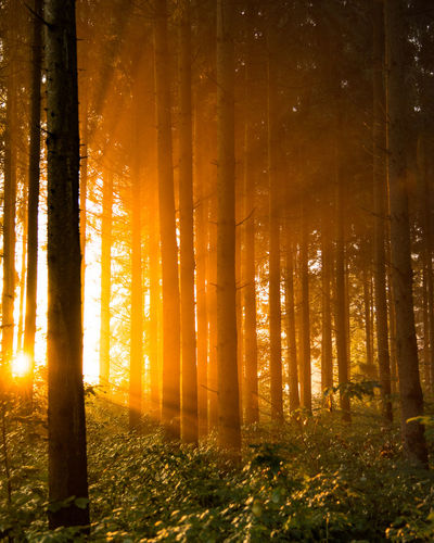 Trees In Forest Against Bright Sun