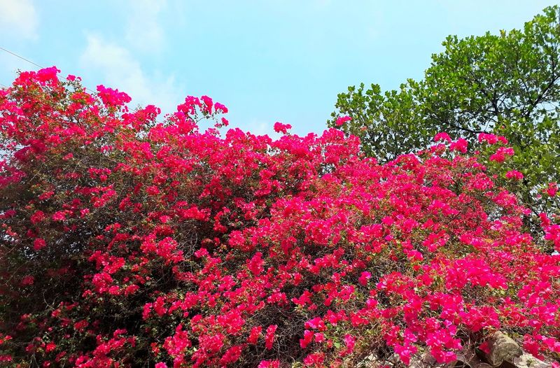 Tree Red Flower Sky Close-up Plant Petal Poppy Photosynthesis Plant Life Blooming Bougainvillea Pollen Single Flower Tissue Fragility Prickly Pear Cactus Flower Head Relaxed Moments Hibiscus Botany Stamen In Bloom Dahlia Delicate