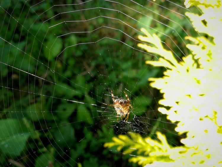 Spider Web Spider Nature Web Animal Themes Insect No People Fragility Huawei Photography Huawei P9 Plus