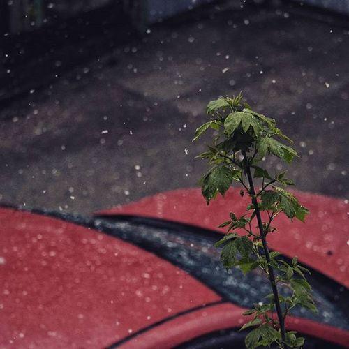 снег май снегвмае 8мая 2016 краснаямашина Машина хлопьяснега❄️❄️ растение холодно зелень  зеленый Cold Green Snow May Snowinmay 8may Redcar Car Snowtime Springtime