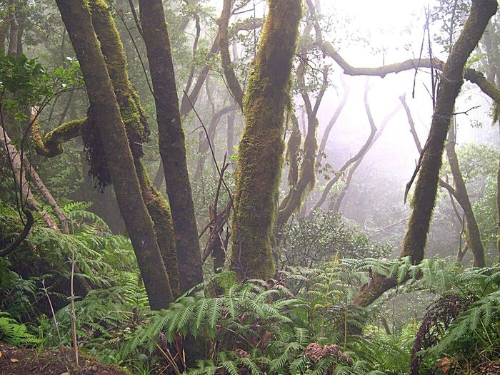 The Magic Mission Forest Tree Tranquility Nature Non-urban Scene Canary Islands Tenerife.