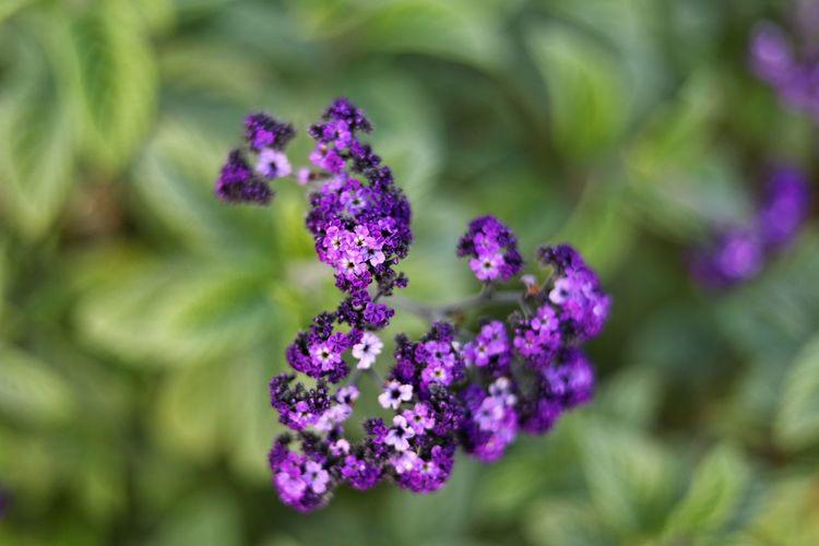 고혹적이던 향기도 이제는 안녕 - 헬리오트롭 . . #하루한컷 #헬리오트롭 #허브천문공원 #가을 #5DMARK4 #신쩜팔 #EF50MMF18MMSTM Flower Plant Part Rural Scene Flower Head Nature Reserve Herbal Medicine Closing Alternative Medicine Purple Summer