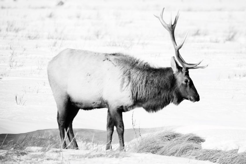 Elk in Yellowstone winter black and white friday Elk EyeEm Selects Animal Themes Animal Mammal Animal Wildlife Vertebrate Animals In The Wild Snow Nature Field One Animal Winter Cold Temperature Day Land No People Environment Landscape Tree Outdoors