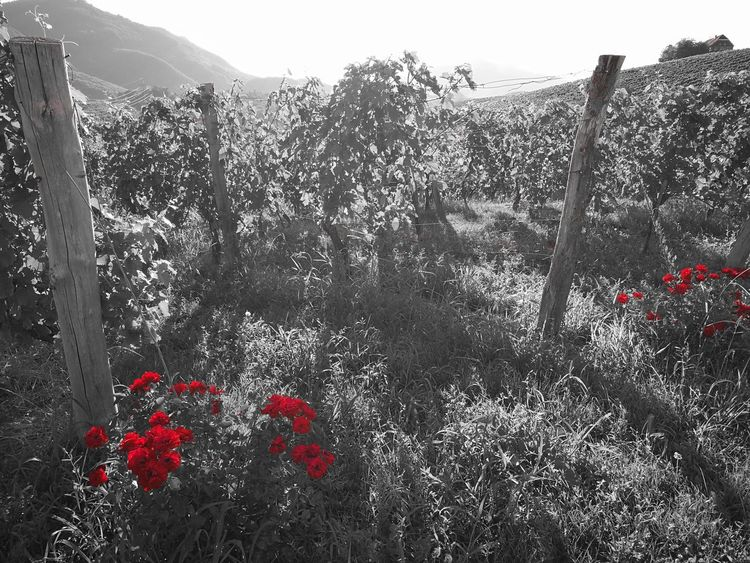 Flower Outdoors Nature Red Growth Beauty In Nature Plant Freshness Wineyard Rose Collection Roses_collection Black And White With A Splash Of Colour The Great Outdoors - 2017 EyeEm Awards EyeEm Best Shots - Nature EyeEm Selects EyEmNewHere EyeEmbestshots EyeEm Nature Lover EyeEm Gallery Outdoor Photography EyeEm Nature Collection EyeEm Master Class EyeEmBestPics Eye4photography  My Unique Style
