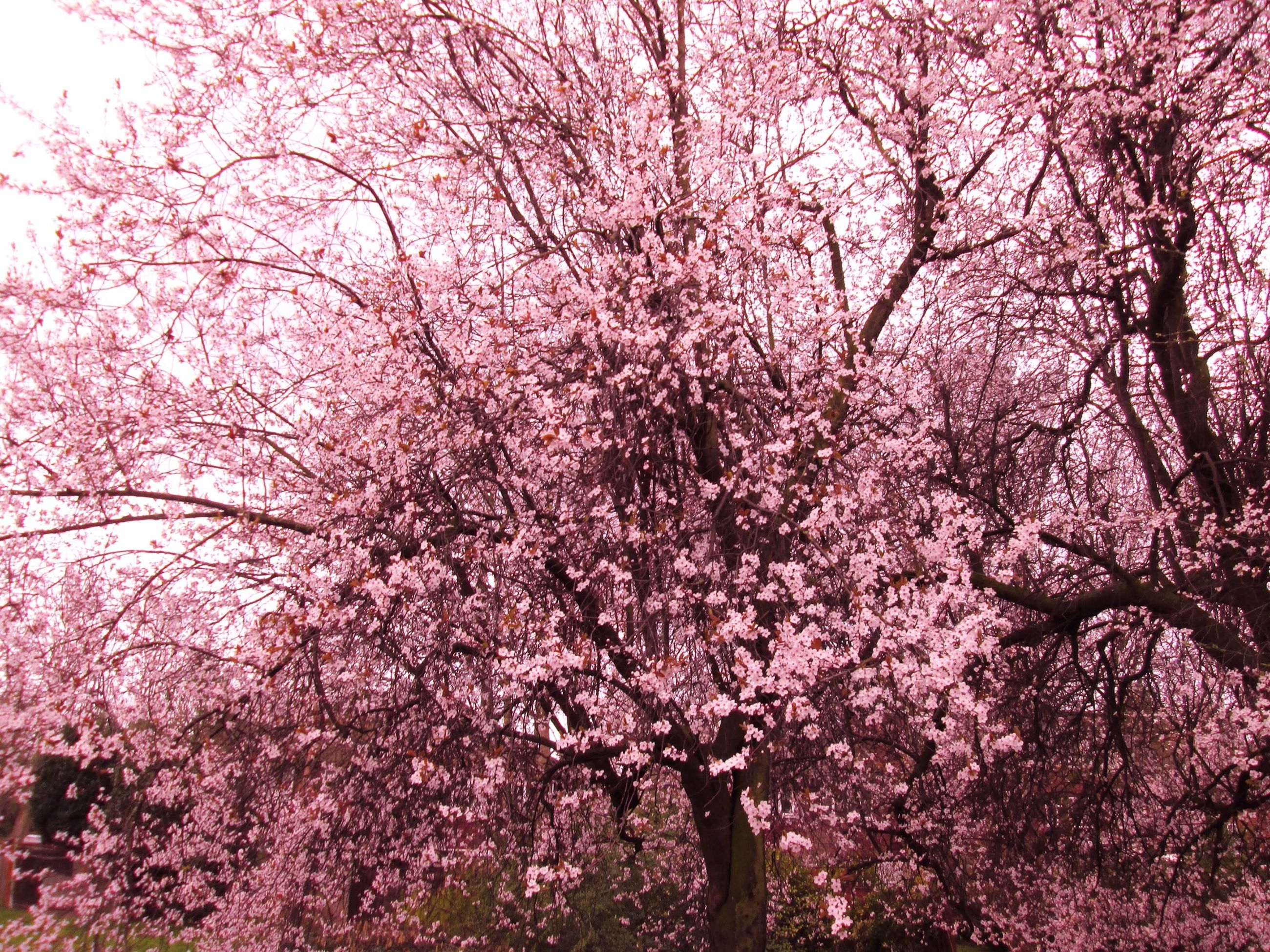 tree, flower, branch, growth, beauty in nature, pink color, freshness, cherry blossom, nature, low angle view, blossom, fragility, cherry tree, in bloom, springtime, blooming, outdoors, tranquility, day, sky