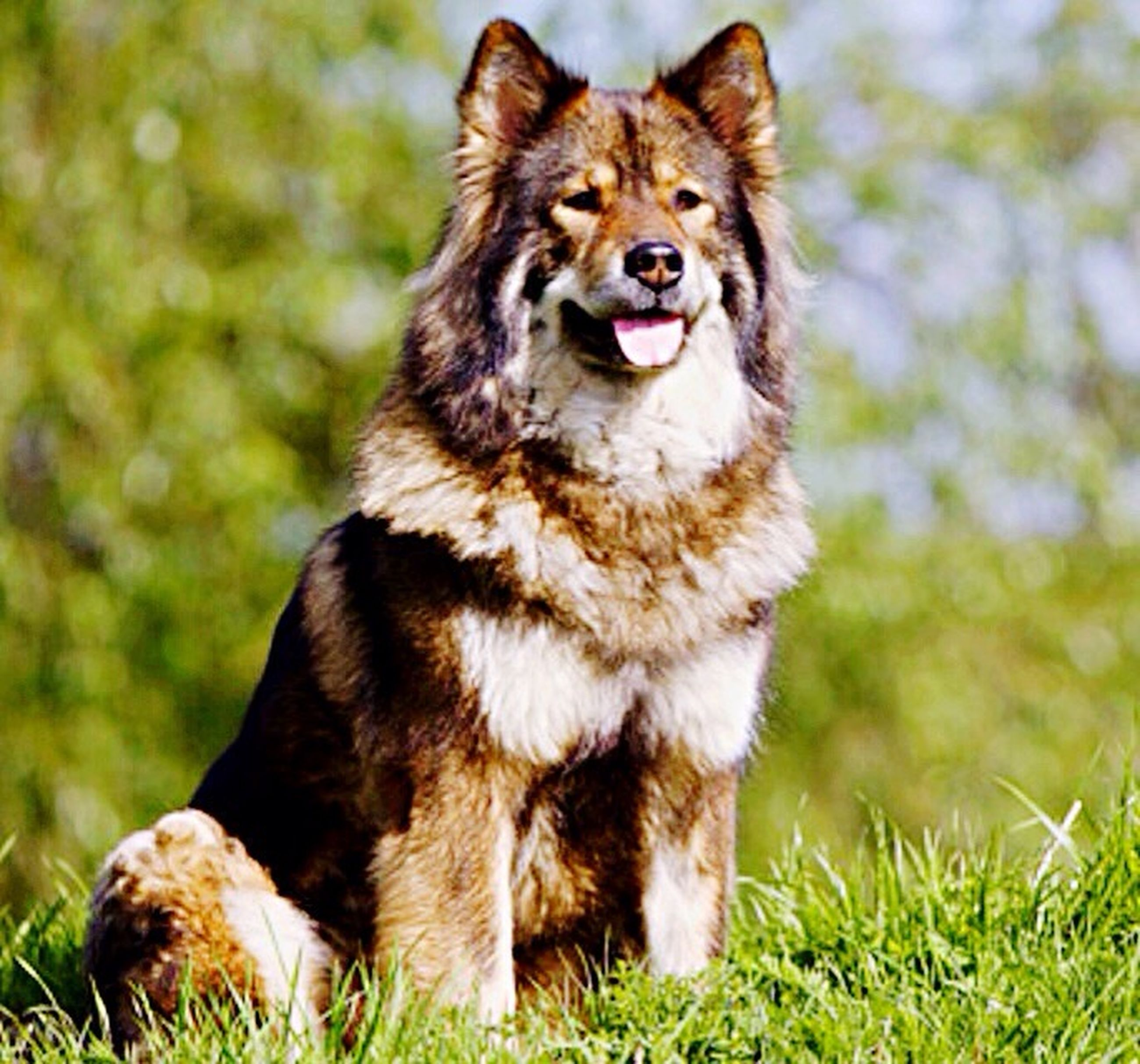 animal themes, one animal, mammal, domestic animals, portrait, grass, dog, looking at camera, pets, sitting, focus on foreground, field, front view, full length, outdoors, animal hair, sticking out tongue, mouth open, no people