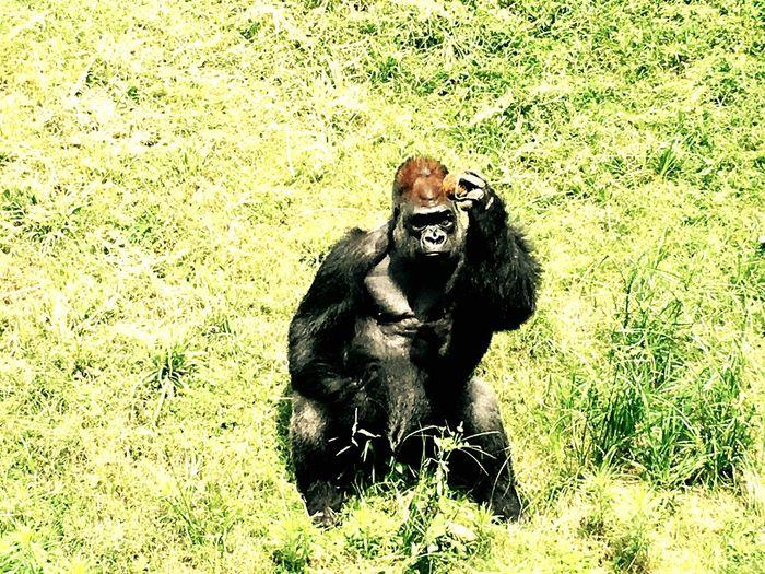 Gorilla First Eyeem Photo