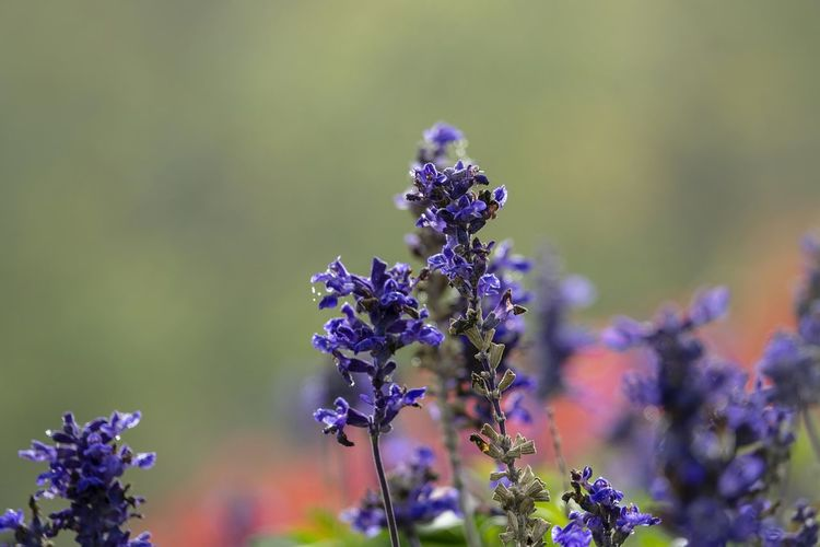 Lavendelblüte Flower Flowering Plant Vulnerability  Fragility Plant Beauty In Nature Freshness Growth Purple Close-up Focus On Foreground Lavender No People Selective Focus Nature Day Flower Head Petal Botany Inflorescence Pollination