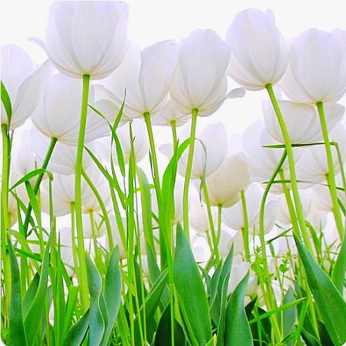 Flower Freshness Nature Growth Petal Plant Fragility Beauty In Nature Close-up Flower Head No People Outdoors Day Springtime Snowdrop Crocus bua