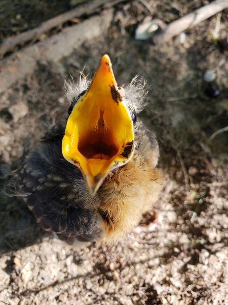 Baby Robin Close-up Animal Themes