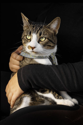 Midsection of cat with hand on black background