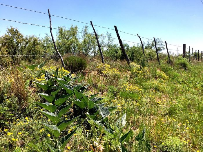 Growth Nature Plant No People Day Field Green Color Outdoors Clear Sky Beauty In Nature Tranquil Scene Tranquility Scenics Tree Grass Sky Landscape Texas Landscape ROADSIDE TEXAS Fence Barbed Wire
