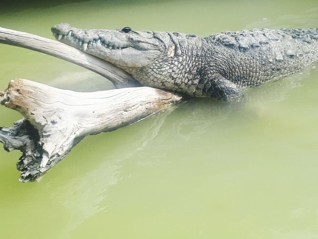 en río lagartos Reptile Alligator Animal Wildlife Crocodile Animals In The Wild One Animal Water No People Animal Themes Outdoors Nature Close-up