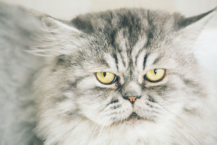 Cute Persian cat or Chinchilla cat lying on the floor. Animal Themes Chinchilla Close-up Day Domestic Animals Domestic Cat Feline Indoors  Looking At Camera Mammal No People One Animal Persian Cat  Pets Portrait Whisker