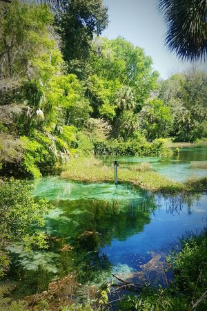 Tree Reflection Water Nature No People Growth Sky Outdoors Beauty In Nature Day Scenics Florida Vacation Tranquility Rainbow River Springs Wild SwimmingLush - Description Travel Destinations River Rainbow Springs State Park