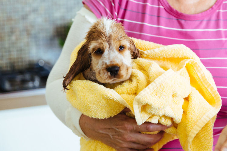 Midsection Of Woman Carrying Cocker Spaniel Puppy Wrapped In Towel