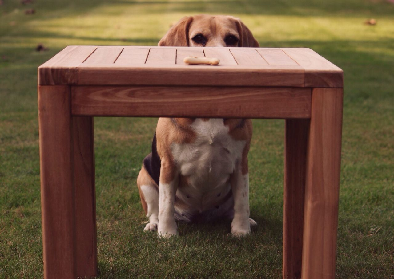 Dog watching snack on table