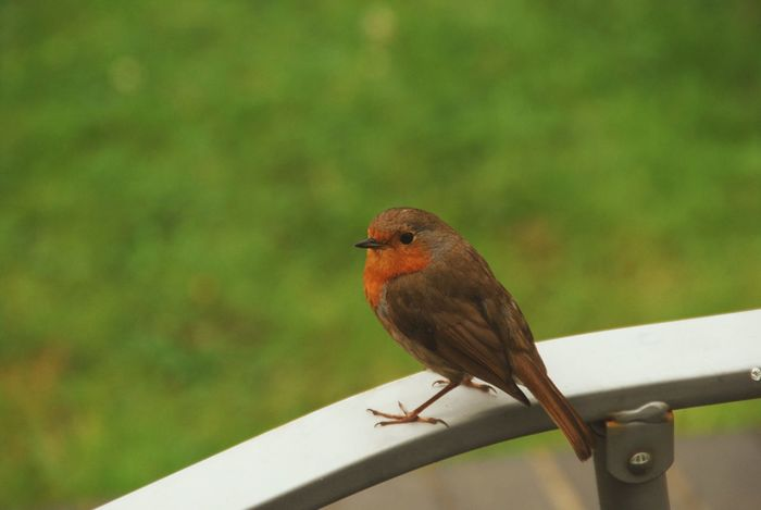 One of the robins who hang out in my garden Bird Wildlife Perching Nature Side View Small Rural Scene Avian