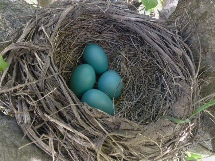 Birds eggs Bird EyeEm Birds Eggs Bird Eggs Nature_collection Tree Nest Bird Nest EyeEm Nature Lover Blue