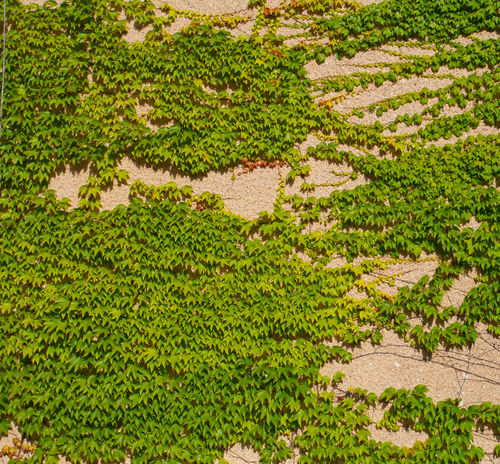 Boston Ivy On The Wall Leaves🌿 Parthenocissus Parthenocissus Quinquefolia Wall Background Leaves Background Texture Backgrounds Beauty In Nature Boston Ivy Climbing Plant Climbing Plant Green Leaves As Background Foliage Formal Garden Garden Green Color Growth Leaves Lush Foliage Nature No People Overgrown Wall Plant Vine Wall Vine
