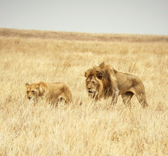 Lion Serengeti National Park Tanzania